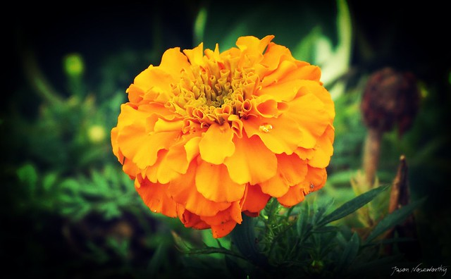 Marigold with Water Drop