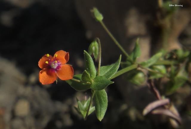 Weatherman Flower - The Scarlet Pimpernel 2189
