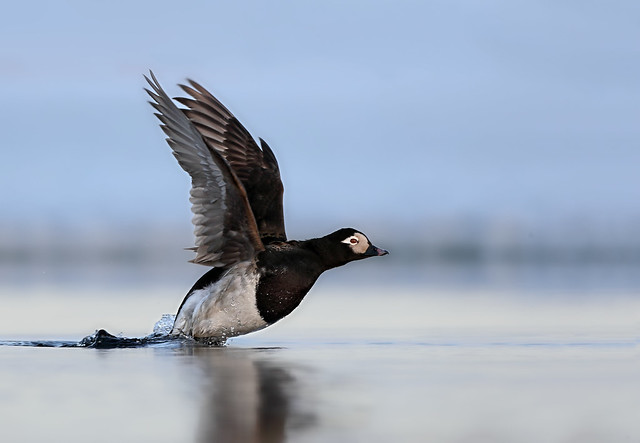 Long Tailed Duck Blasting Off