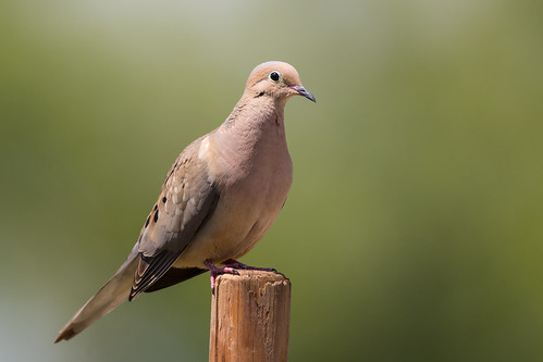 Mourning Dove (X91_7531-1)