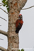 Red-backed Woodpecker (Dinopiumpsarodes), male DSD_6647