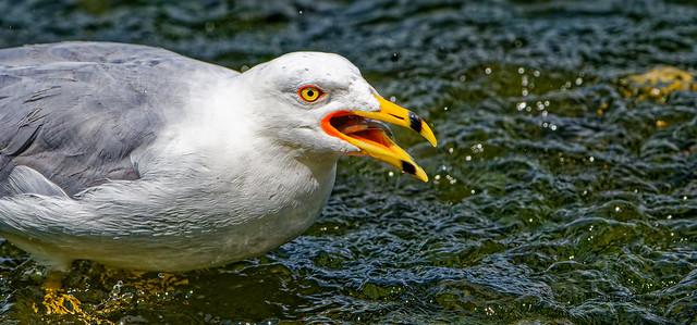 Goéland à bec cerclé - Ring-billed Gull - Larus delawarensis