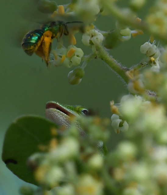 Green Anole (Anolis carolinensis) & Brown-winged Striped Sweat Bee (Agapostemon splendens)