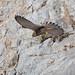 Kestrel taking flight