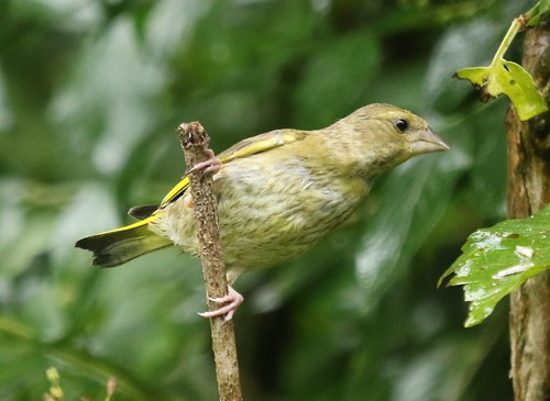 Greenfinch (Chloris chloris) Female