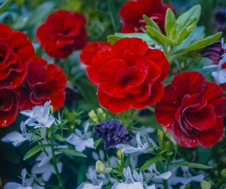 Great red flowers! 08:11:30 DSC_3511