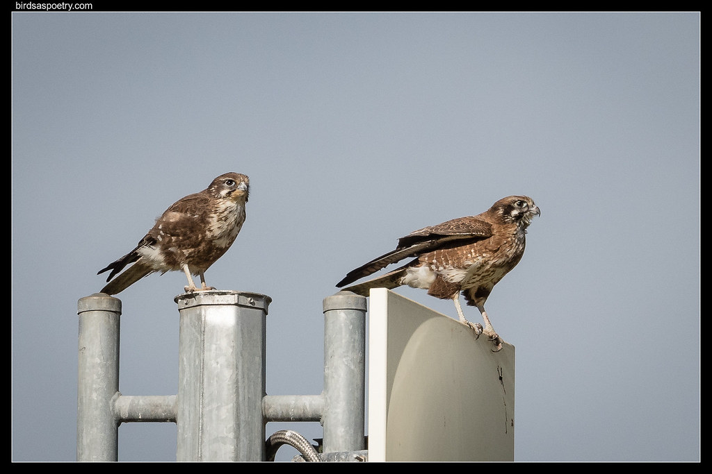 Mr and Mrs Brown Falcon, Synedes Road August 2019