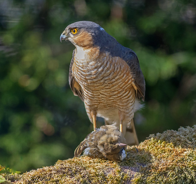 JWL3204  Sparrowhawk...