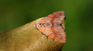 Pine Carpet - Pennithera firmata