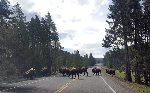 Bison Crossing at Yellowstone National Park, WY