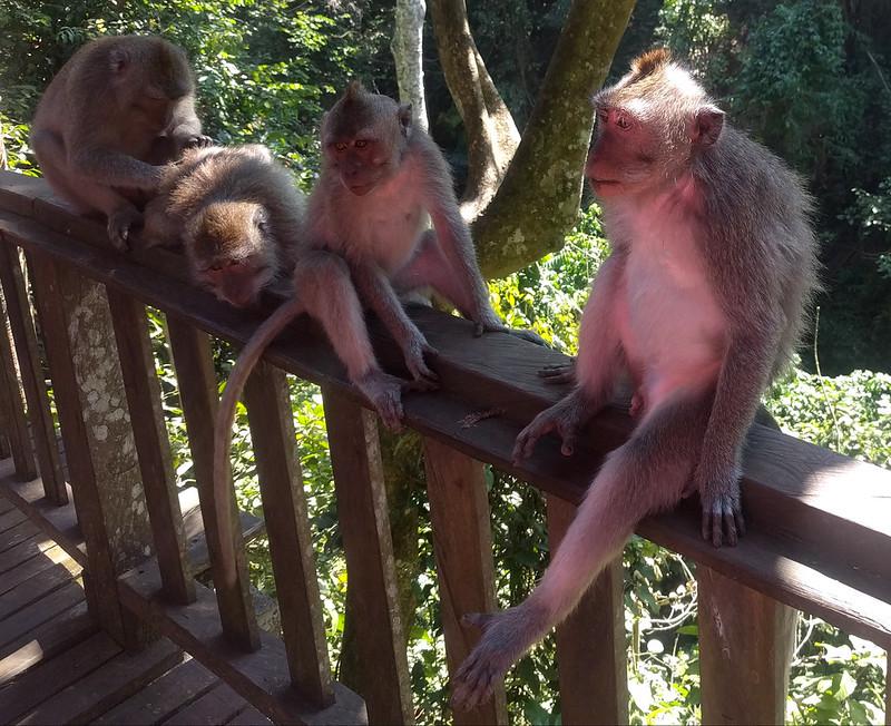 Monos del  Monkey Forrest de Ubud