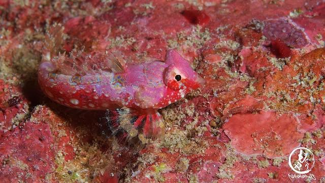 リクエストだったミヤケテグリ幼魚さん