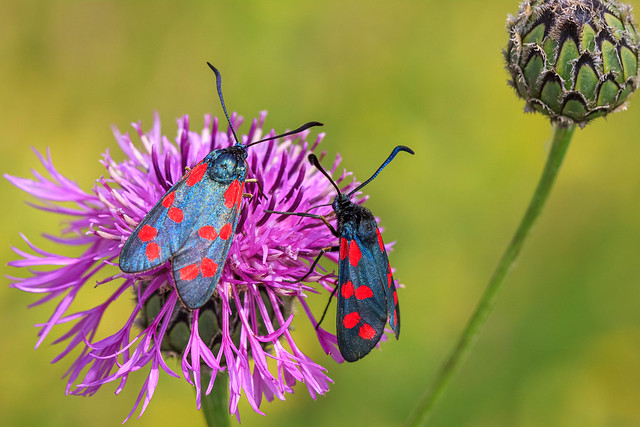 6 spotted burnet moths . (Explored)