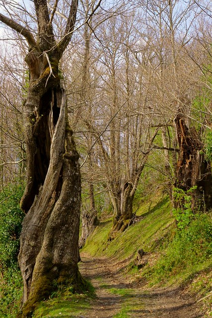 Old chestnut trees observe carefully to the hiker