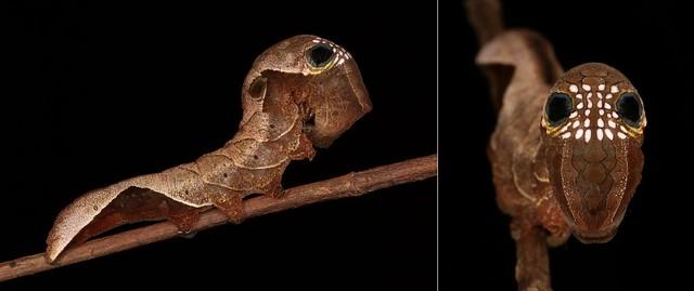 MUGSHOT - Fruit Piercing Moth Caterpillar (Phyllodes sp., Calpinae, Erebidae)