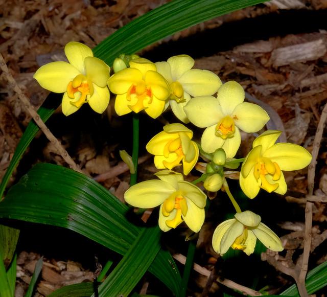 Spathoglottis (ground orchid - George Brown Darwin Botanic Gardens, Darwin, NT, Australia