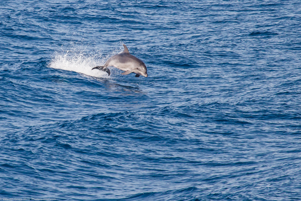 samothraki 2014_19_dolphin med
