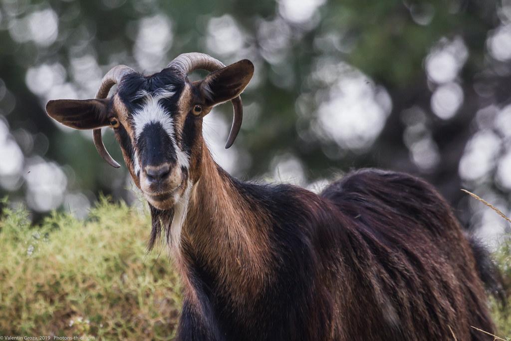 samothraki 2014_01_goat med