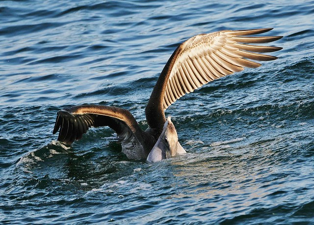 Brown Pelican In Action (Pelecanus occidentalis)