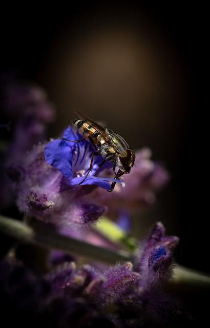 Honey Fly