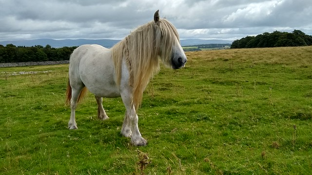 Cumbrian wild fell pony