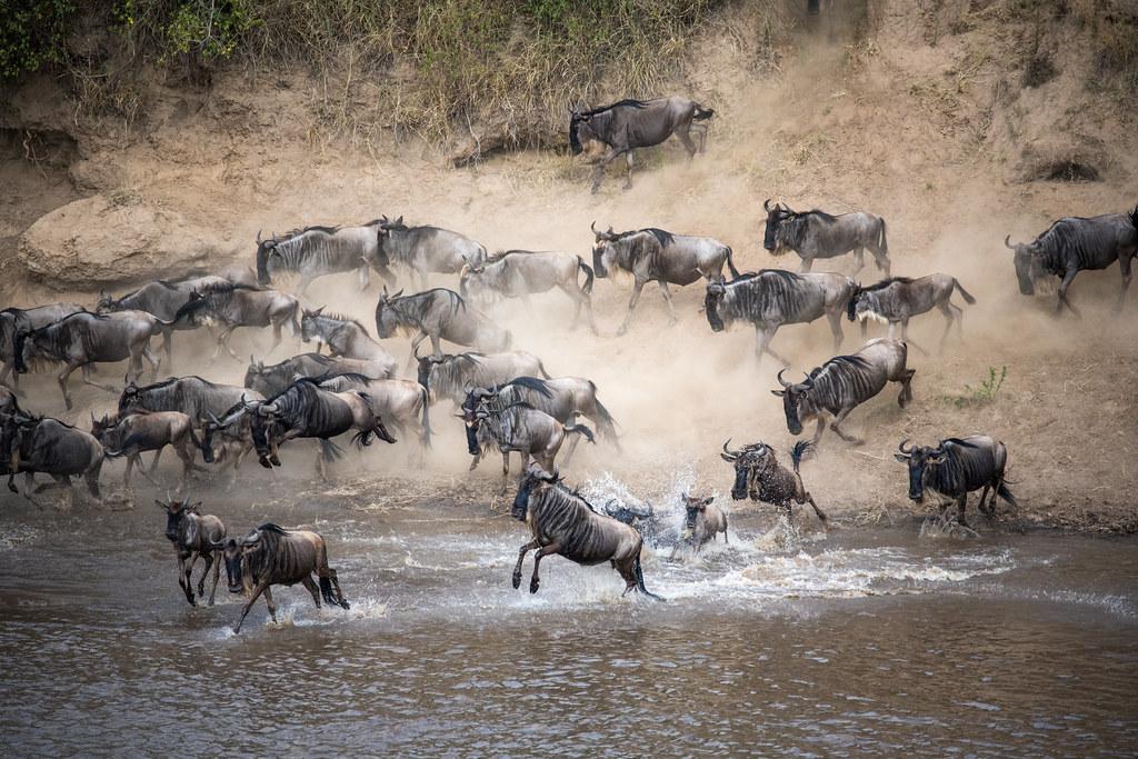 Great Migration - Wildebeest crossing the Mara river