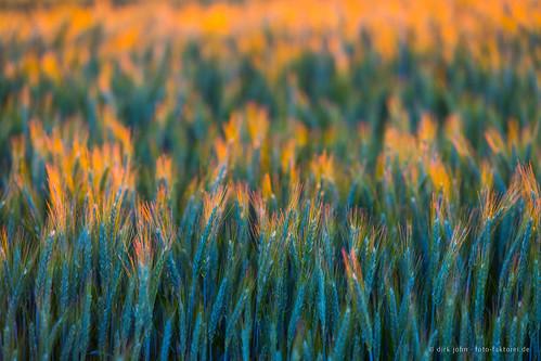 getreide ähren sonnenuntergang sunset grain backlight gegenlicht makro macro