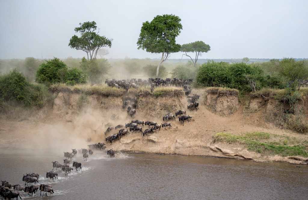 Great Migration - Two million wildebeest cross the Mara river between Kenya and Tanzania