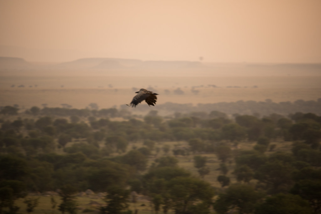 A bird flying during sunrise - Northern Serengeti