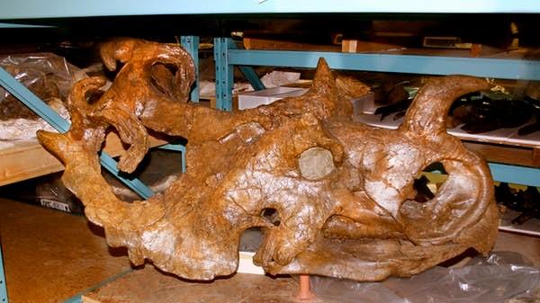 A Centrosaurus skull.