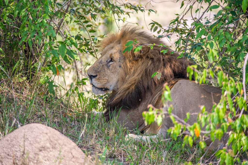 Lion - Serengeti