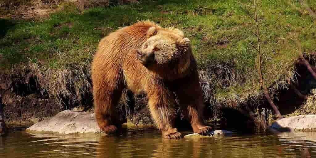 Les ours des cavernes ont décliné avec l'arrivée des humains