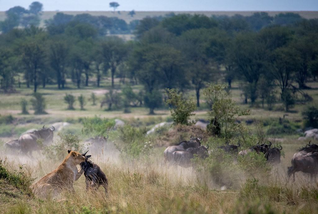 A lioness hunts and captures a wildebeest - Northern Serengeti