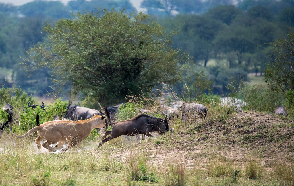 A lioness hunts and captures a wildebeest - Northern Serengetin