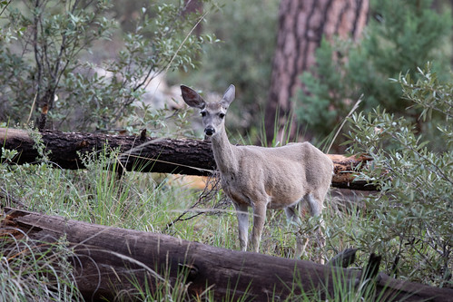 Coues' White-tailed Deer