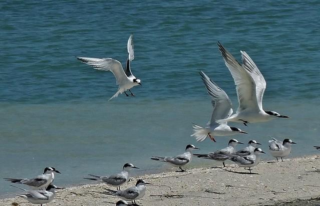 MEXICO, Isla Aguada -Laguna Terminos, Vogelparadies, Möwen, 19201/11869