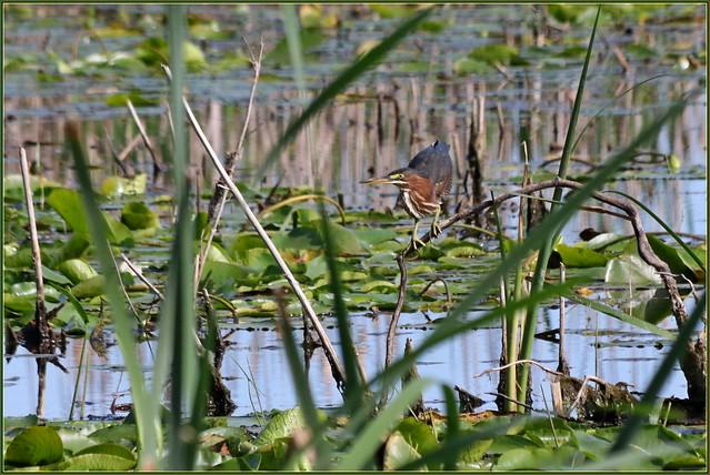 IMG_3870 Green Heron fishing inLilly Pads, 12 Aug, 2019