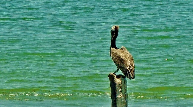 MEXICO, Isla Aguada -Lagune Terminos, Vogelparadies, Pelikan , 19198/11866