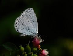 Holly Blue 2