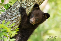 """A baby bear is """"Hangin' With Ma"""" in Cades Cove Tennessee 