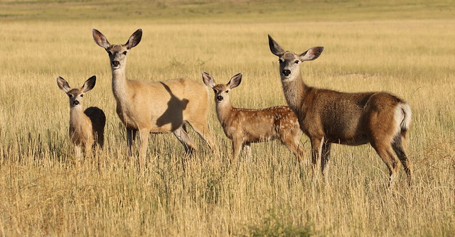 Mule Deer Does and Fawns