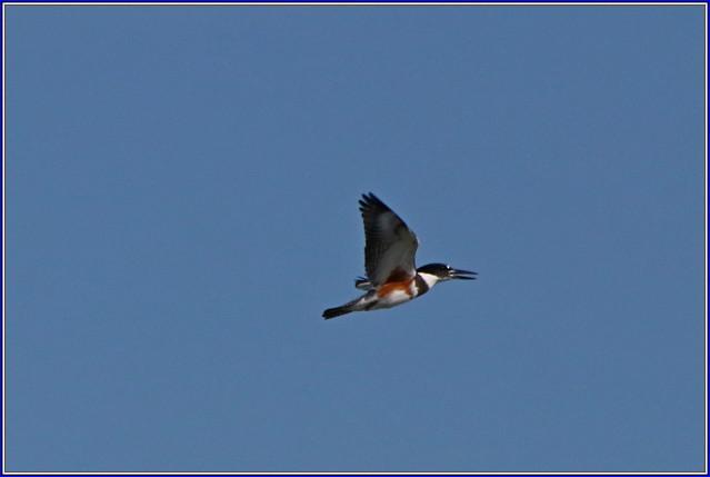 IMG_3897 Female Kingfisher in Full Flight , 12 Aug, 2019