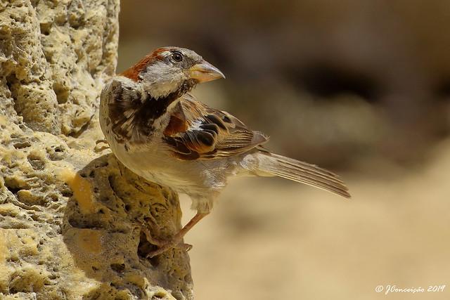 Pardal comum - Passer domesticus - House sparrow