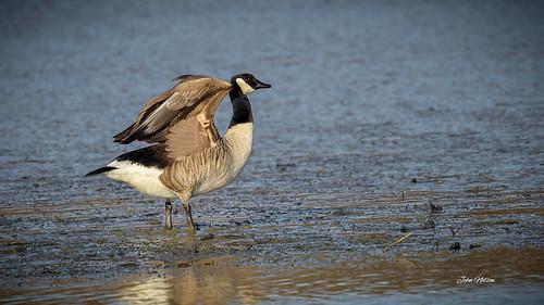 Mud walking - Canada Goose