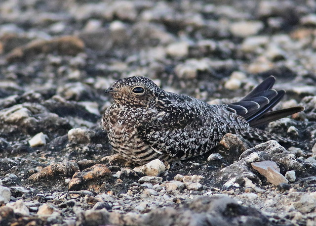 Common Nighthawk female 20190815