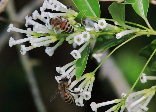 Honeybees and ants on Ligustrum 20190814