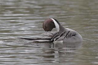 Male Pintail Duck - Ana's acuta