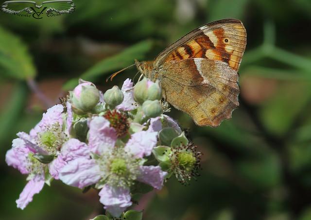 Mariposa maculada canaria (Pararge xiphioides)