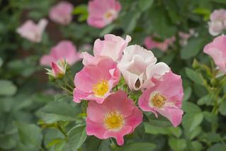 Rose -Bingo Meidiland-,Kyoto Botanical Gardens,Kyoto