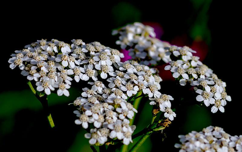 Wild-Flower-22-7D1-080819